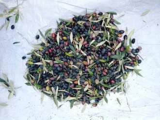 Atolye Deneme_birinci zeytin hasadi bulusması10