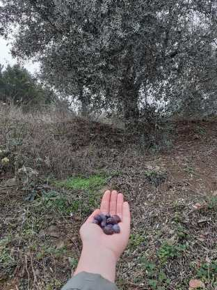 Atolye Deneme_birinci zeytin hasadi bulusması2